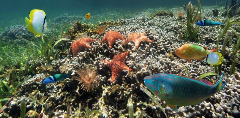 在珊瑚礁的全景与海星 免版税库存照片