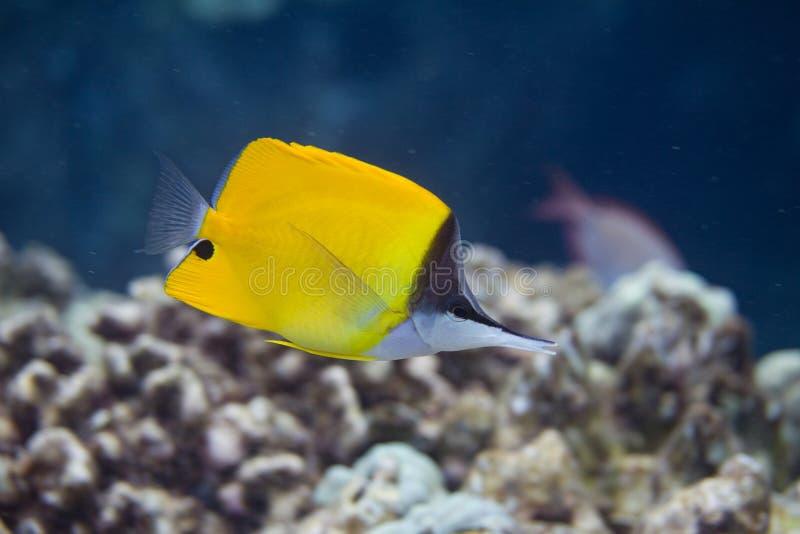 在珊瑚礁的共同的长头蝴蝶鱼 库存照片
