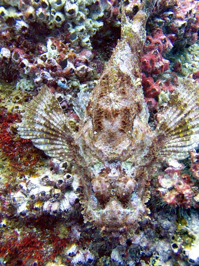 在珊瑚礁的石头鱼 图库摄影