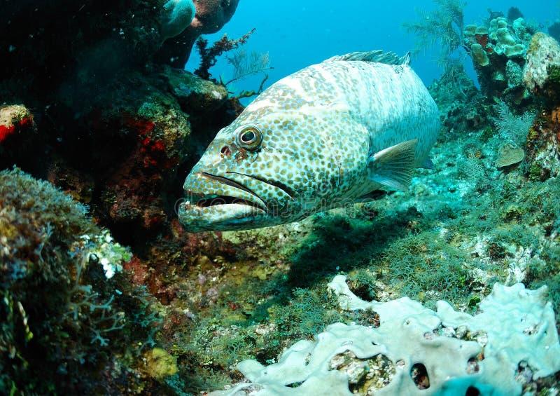 在珊瑚礁的石斑鱼鱼 库存照片