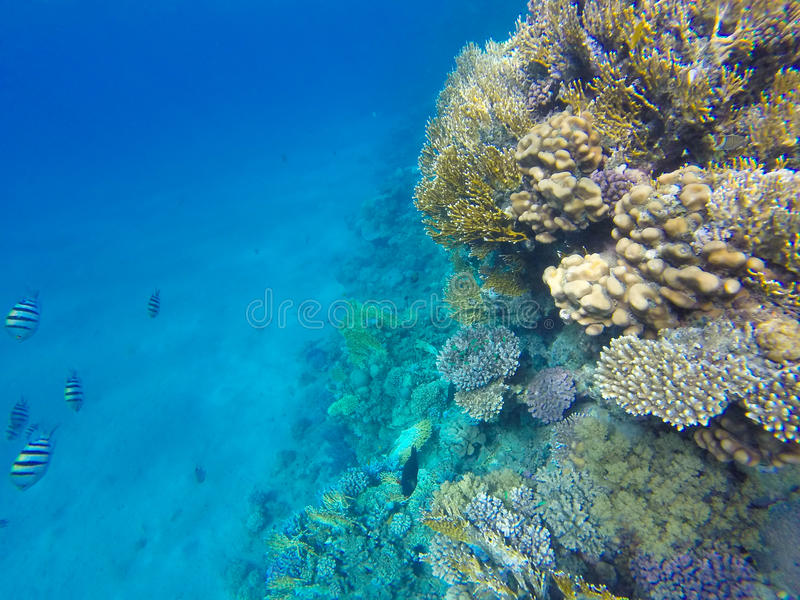 在珊瑚礁的红色海水鱼 水下 库存图片