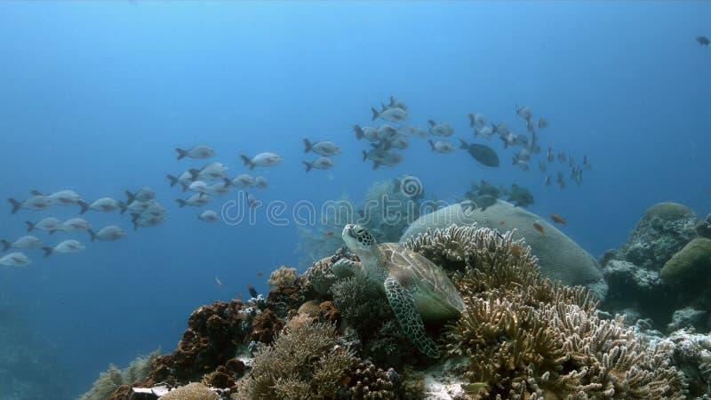 在珊瑚礁的绿浪乌龟与Anthias和Sweetlips 免版税图库摄影