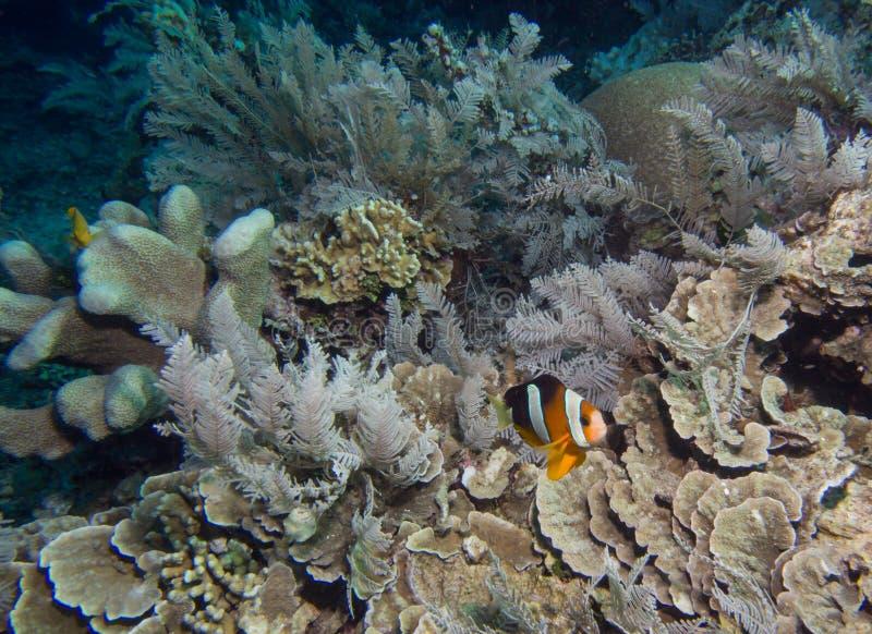 在珊瑚礁的银莲花属鱼 免版税图库摄影