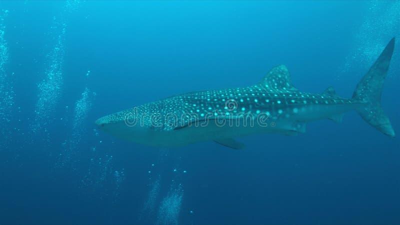 在珊瑚礁的鲸鲨,图巴塔哈群礁在菲律宾 免版税库存照片