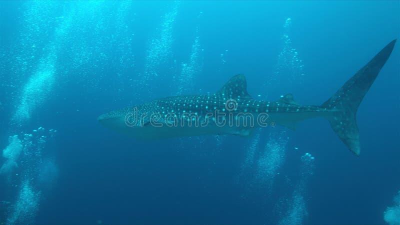 在珊瑚礁的鲸鲨,图巴塔哈群礁在菲律宾 库存照片