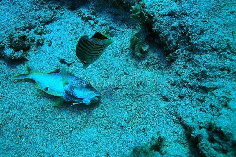 在珊瑚礁的死的鱼 免版税库存照片