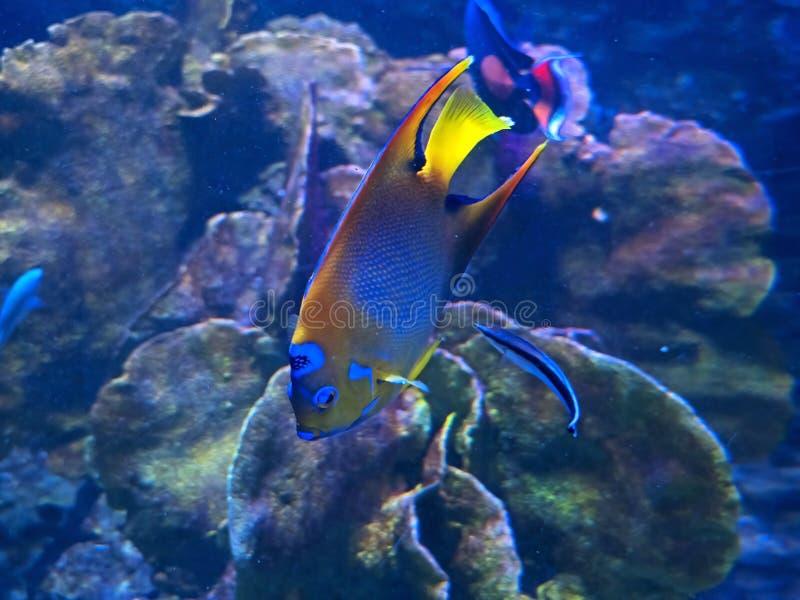 在珊瑚礁背景在海中隔绝的女王神仙鱼 库存图片