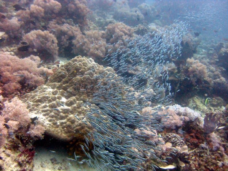 在珊瑚礁附近游泳的一群蓝色小鱼的水下拍摄 图库摄影