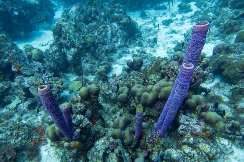 在珊瑚礁风景的紫色花瓶海绵 库存照片