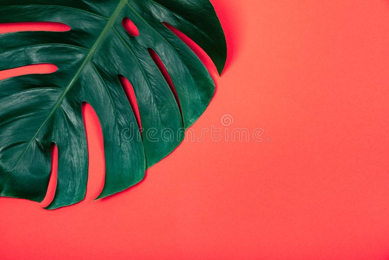 在珊瑚红色背景的热带异乎寻常的植物绿色monstera叶子 免版税库存照片