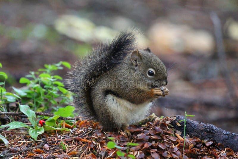 在班夫亚伯大附近的杉木灰鼠 免版税图库摄影
