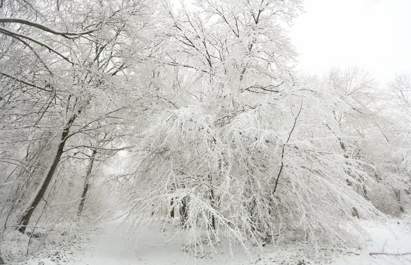 在球木头, Hertford荒地,英国的雪和树的盖的冬天场面小径 免版税库存照片