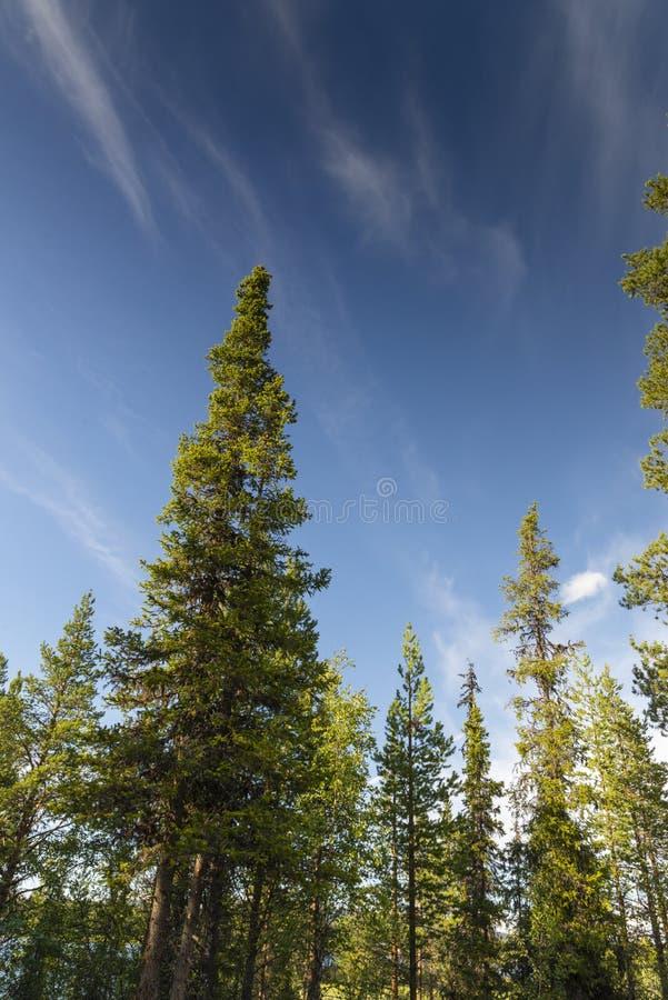 在瑞典语拉普兰的针叶树树 免版税库存图片