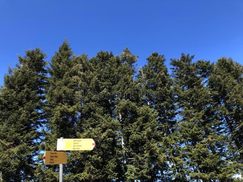 在瑞吉峰山倾斜的针叶树和在琉森湖Vierwaldstättersee上 免版税库存照片