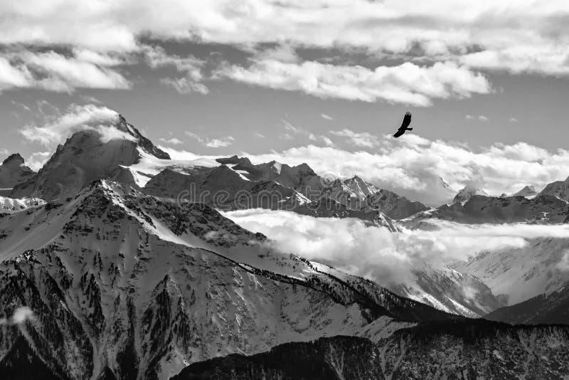 在瑞士阿尔卑斯风景前面的鹫飞行 高加索佐治亚gudauri山冬天 鸟剪影 美好的自然风景在冬天 免版税库存图片