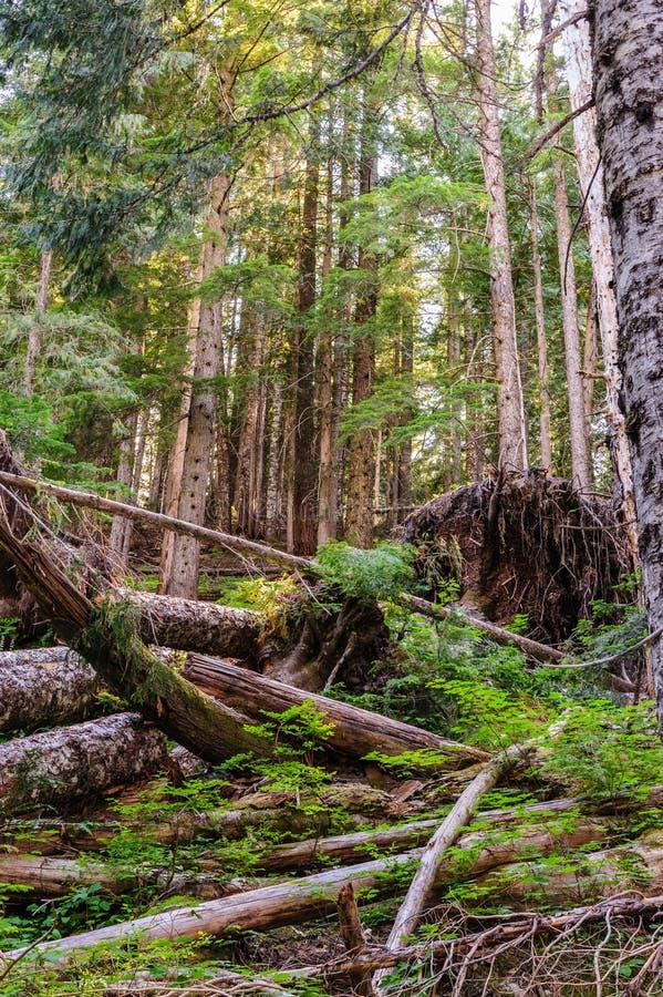 在瑞尼尔山` s箱形峡谷附近的森林 免版税库存照片
