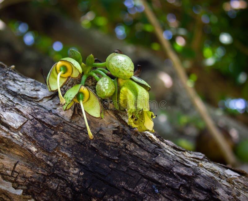 在瓢树的花 免版税图库摄影