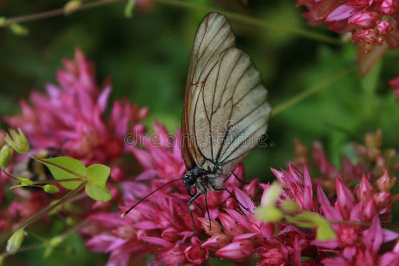 在瓣的蝴蝶 库存图片