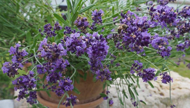 在瓦器花盆的开花的淡紫色与归档的蜂下来 免版税库存图片