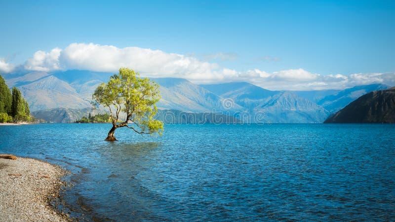 在瓦纳卡湖的一棵符号柳树 库存照片