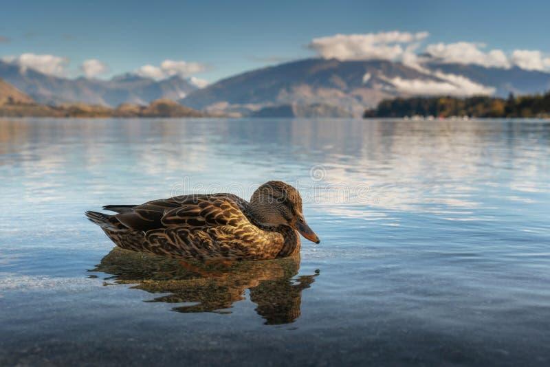 在瓦纳卡湖的野鸭鸭子在新西兰 免版税库存照片