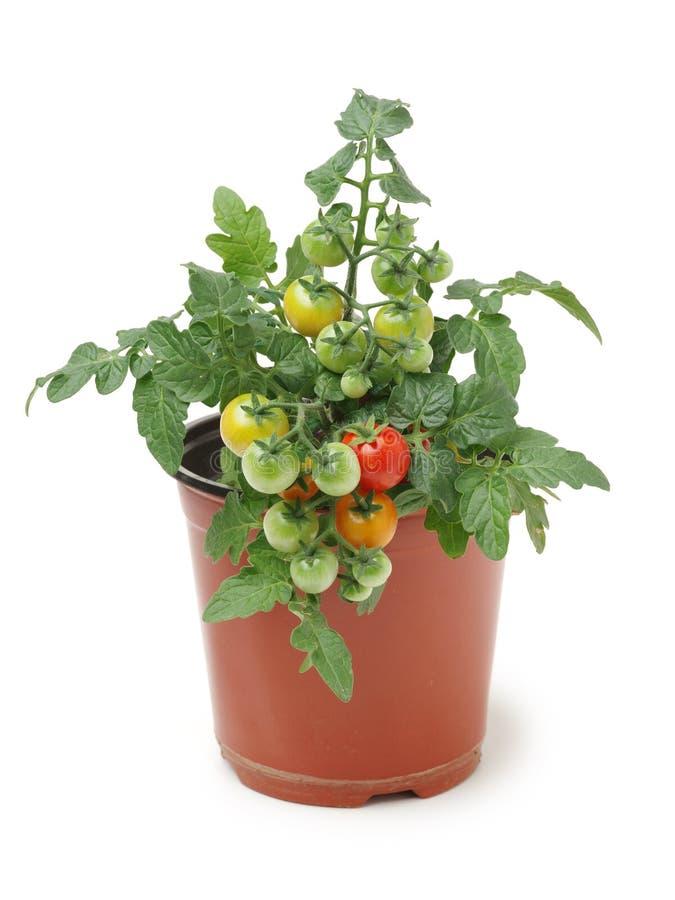 在瓶子的蕃茄幼木 免版税库存照片