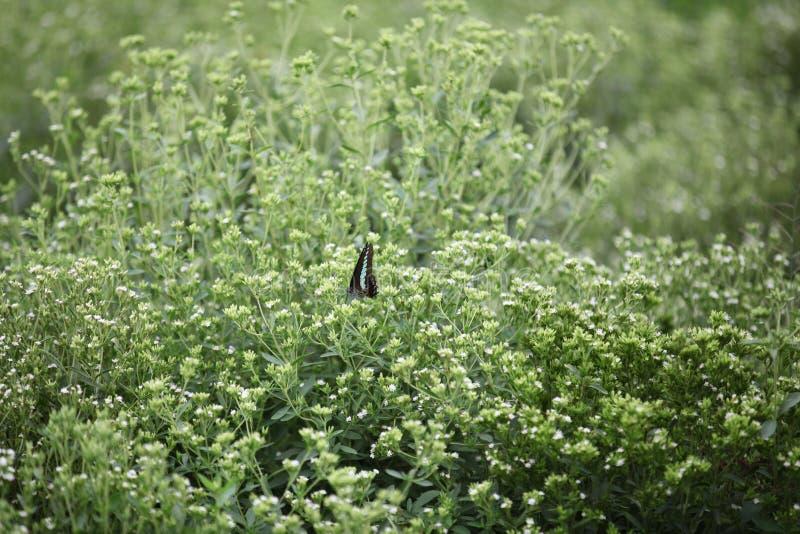 在甜叶菊领域的蝴蝶 库存图片