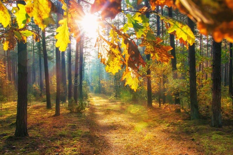 在生动的森林明亮的太阳的秋天通过在森林自然背景的五颜六色的叶子 充满活力的森林风景  库存照片
