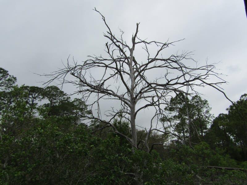 在生存树中的死的树在大盐水湖 免版税库存图片
