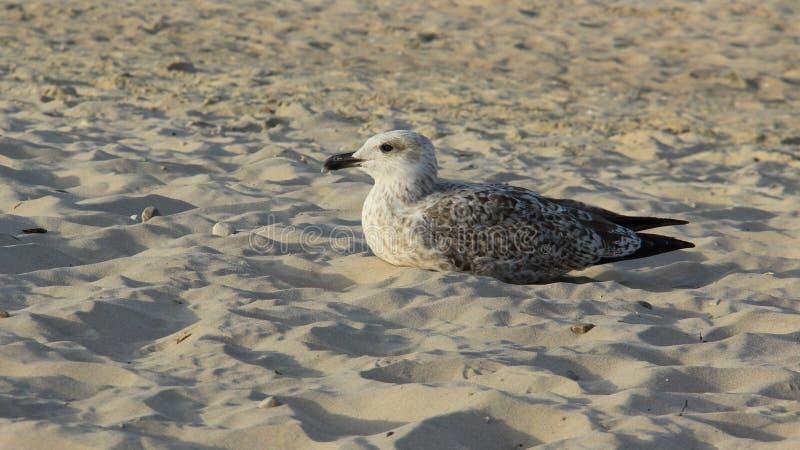 在生活沙滩自由的一群海鸟  库存照片