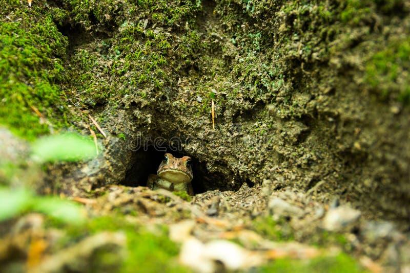 在生苔树孔的温暖的蟾蜍 免版税库存图片
