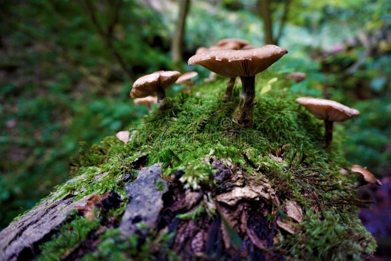 在生苔树干的有些蘑菇在森林里 免版税图库摄影