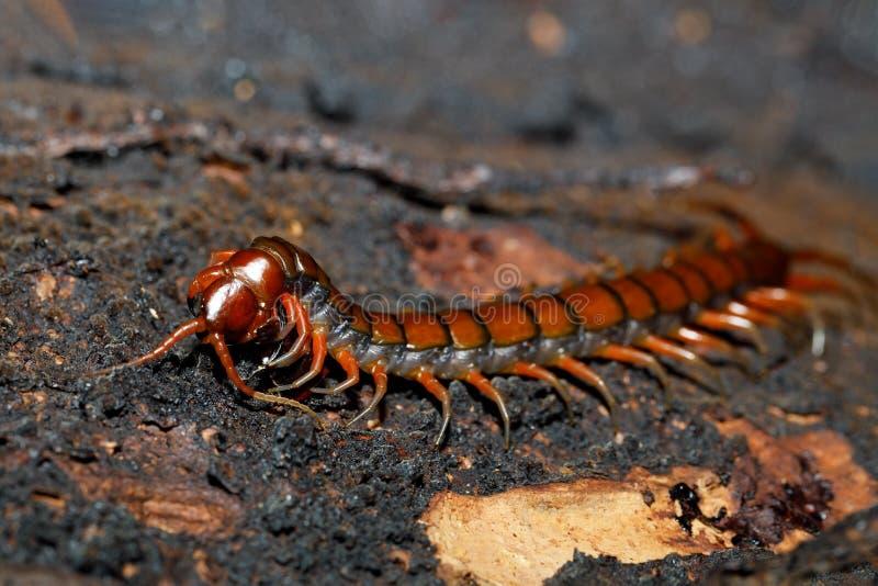 在生苔树马达加斯加野生生物的蜈蚣 库存照片