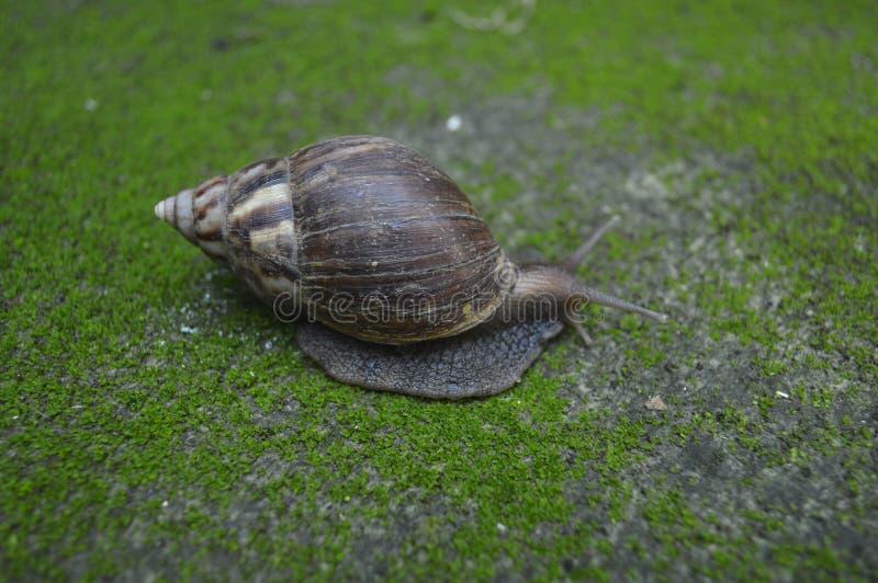 在生苔的地面上的蜗牛 免版税库存图片
