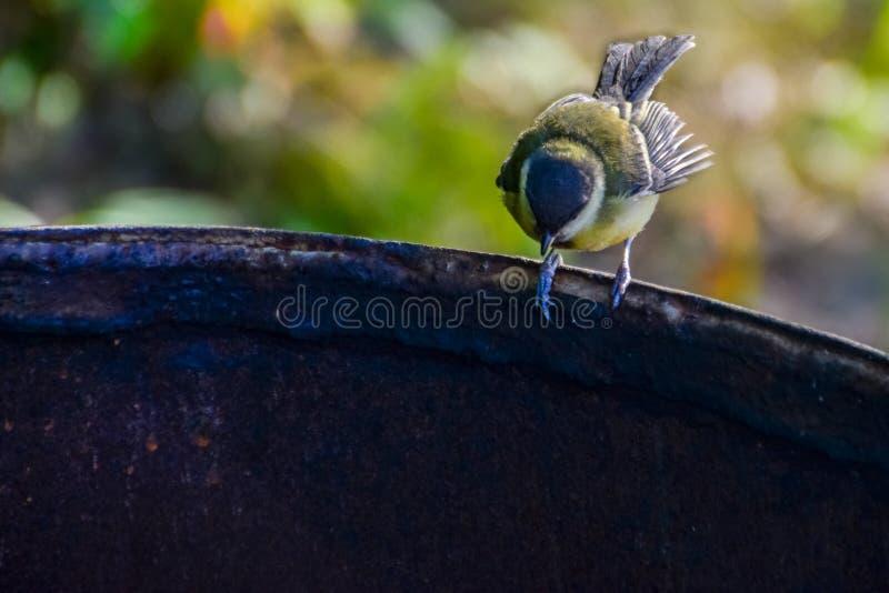 在生锈的铁桶边缘的山雀 库存图片