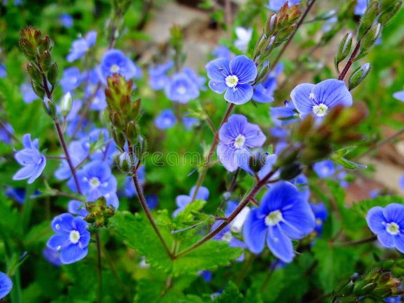 在生长在森林里的绿色叶子背景的美丽的矮小的蓝色花  免版税库存图片