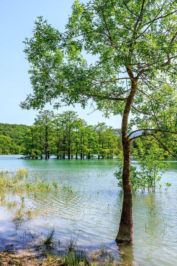在生长在Sukko湖水中的落羽杉树微小的树丛的孤立树阿纳帕,俄罗斯 风景晴朗的夏天天空蔚蓝 免版税库存照片