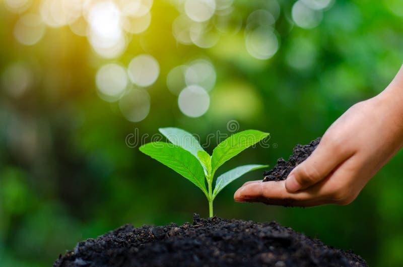 在生长幼木的树的手上 Bokeh绿化拿着在自然领域草森林保护的背景女性手树 免版税库存照片