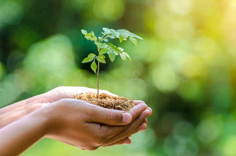 在生长幼木Bokeh绿色背景女性手的树的手上举行树自然领域草森林保护 库存图片