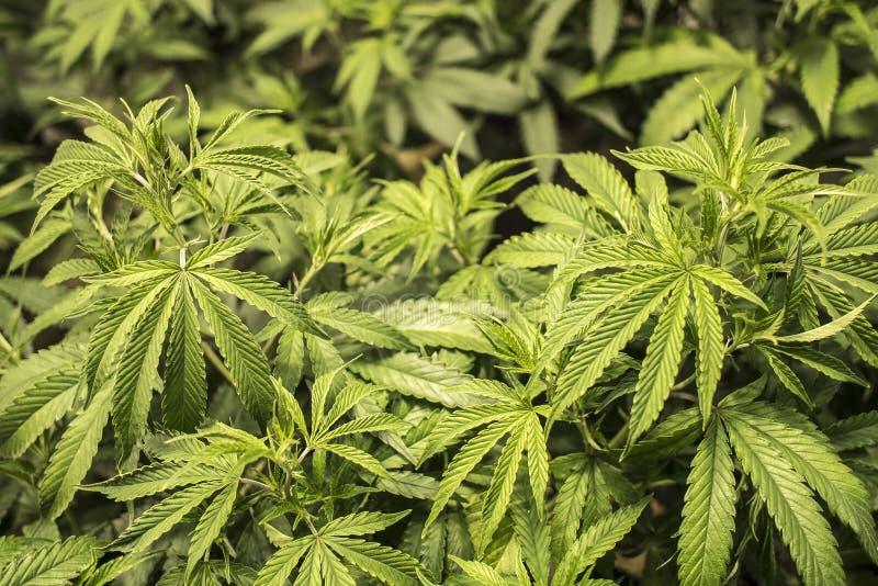在生长的植物的大麻叶子室内 库存图片