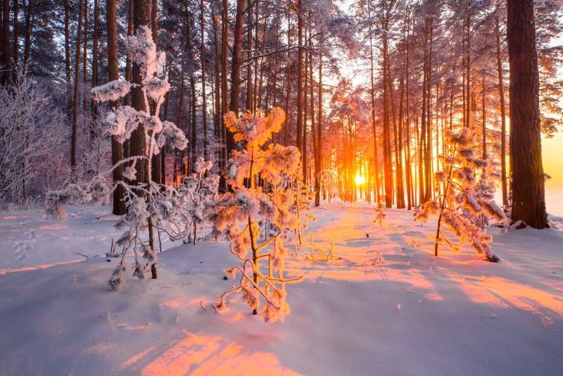 在用与晚上阳光的霜盖的森林冷杉木的圣诞节阳光在森林冬天风景 冬天自然与 库存照片