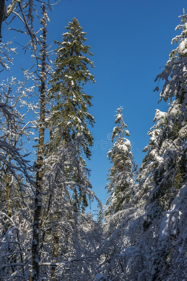 在用在冷气候的雪报道的多雪的森林杉木分支的冷淡的冬天风景 库存照片