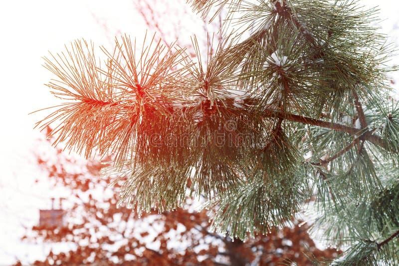 在用在冷的冬天天气的雪报道的多雪的森林杉木分支的冷淡的冬天风景 库存照片