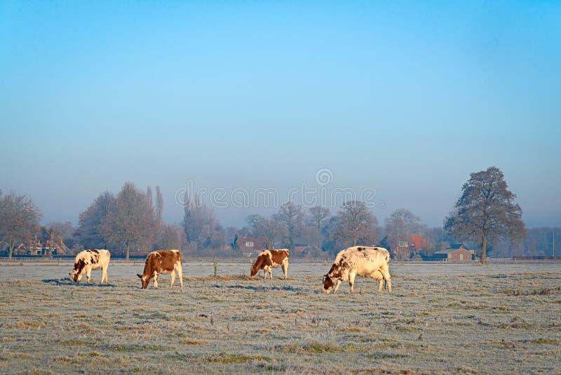 在用树冰盖的草甸的四头母牛 图库摄影