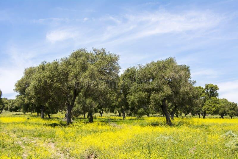 在用花装饰的领域的橄榄在春天 免版税库存图片