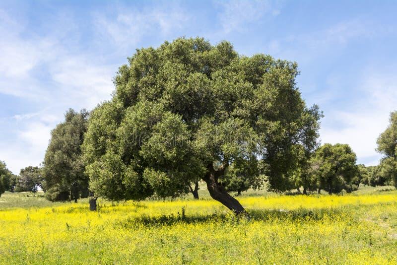 在用花装饰的领域的橄榄在春天 库存照片