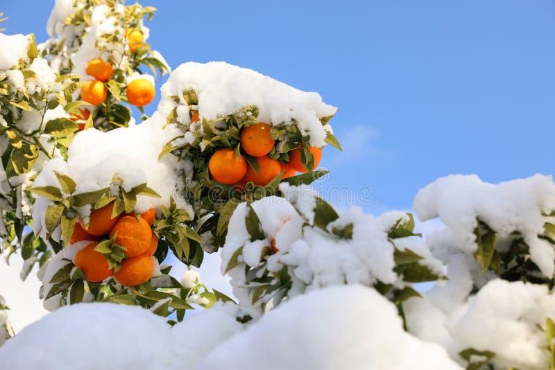 在用雪报道的树枝的蜜桔雅典,希腊,2019年1月8日 免版税库存照片
