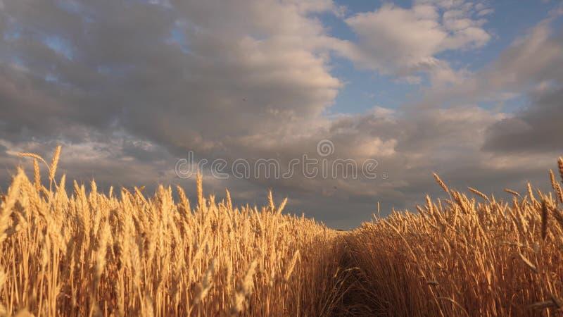 在田园诗自然的巨大的黄色麦子地板在日落金黄光芒  与云彩的美丽的风雨如磐的天空在乡下 库存例证