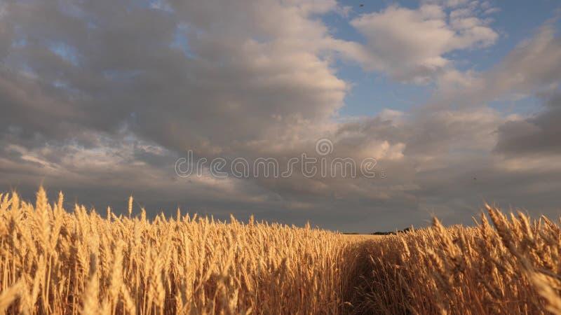 在田园诗自然的巨大的黄色麦子地板在日落金黄光芒  与云彩的美丽的风雨如磐的天空在乡下 皇族释放例证