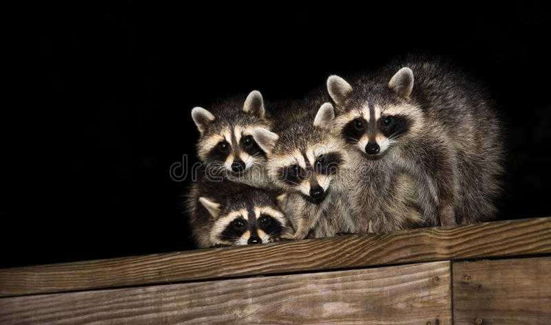 在甲板栏杆的四头逗人喜爱的小浣熊 免版税库存照片